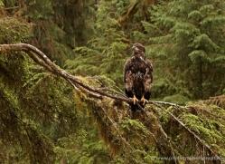 bald-eagle-alasaka-4682-copyright-photographers-on-safari