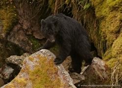 black-bear-anan-alasaka-4640-copyright-photographers-on-safari
