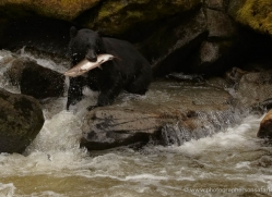 black-bear-anan-alasaka-4644-copyright-photographers-on-safari