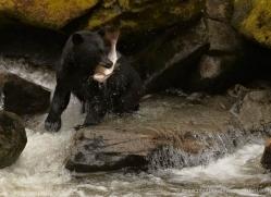 black-bear-anan-alasaka-4645-copyright-photographers-on-safari