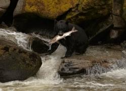 black-bear-anan-alasaka-4646-copyright-photographers-on-safari