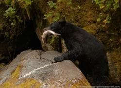 black-bear-anan-alasaka-4647-copyright-photographers-on-safari