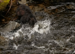 black-bear-anan-alasaka-4649-copyright-photographers-on-safari