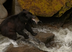 black-bear-anan-alasaka-4651-copyright-photographers-on-safari