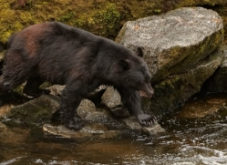 black-bear-anan-alasaka-4654-copyright-photographers-on-safari