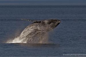 Alaska - Whales & Black Bears