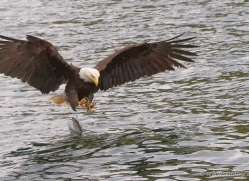 bald-eagle-alasaka-4619-copyright-photographers-on-safari