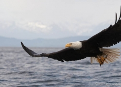 bald-eagle-alasaka-4621-copyright-photographers-on-safari