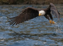 bald-eagle-alasaka-4623-copyright-photographers-on-safari
