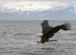 bald-eagle-alasaka-4624-copyright-photographers-on-safari