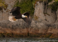 bald-eagle-alasaka-4628-copyright-photographers-on-safari