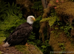 bald-eagle-alasaka-4629-copyright-photographers-on-safari