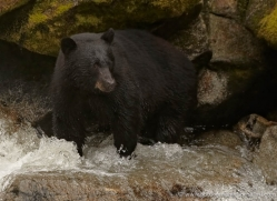 black-bear-anan-alasaka-4638-copyright-photographers-on-safari