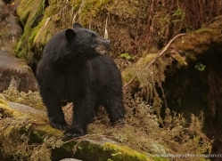 black-bear-anan-alasaka-4639-copyright-photographers-on-safari