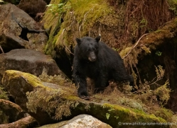 black-bear-anan-alasaka-4643-copyright-photographers-on-safari