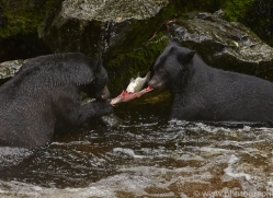 Black Bear 2014-2copyright-photographers-on-safari-com