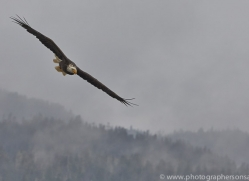 Eagles 2014-1copyright-photographers-on-safari-com