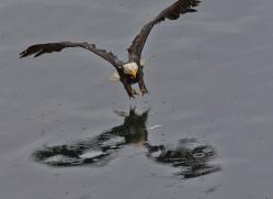 Eagles 2014-3copyright-photographers-on-safari-com