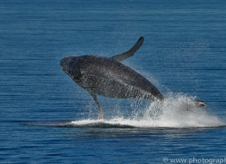 Whales 2014-10copyright-photographers-on-safari-com