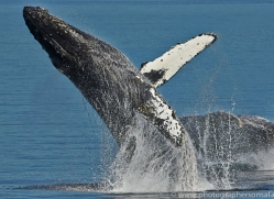 Whales 2014-13copyright-photographers-on-safari-com