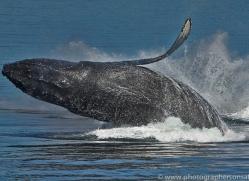 Whales 2014-14copyright-photographers-on-safari-com