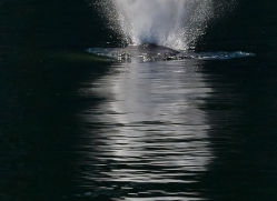 Whales 2014-15copyright-photographers-on-safari-com