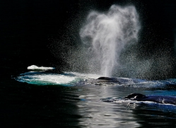 Whales 2014-17copyright-photographers-on-safari-com