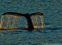 Whales 2014-22copyright-photographers-on-safari-com