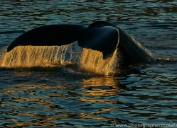 Whales 2014-23copyright-photographers-on-safari-com