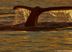 Whales 2014-24copyright-photographers-on-safari-com