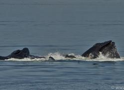 Whales 2014-26copyright-photographers-on-safari-com