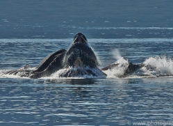 Whales 2014-29copyright-photographers-on-safari-com