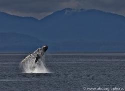 Whales 2014-32copyright-photographers-on-safari-com