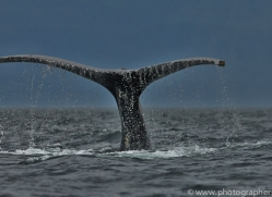 Whales 2014-36copyright-photographers-on-safari-com
