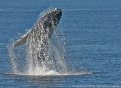 Whales 2014-3copyright-photographers-on-safari-com