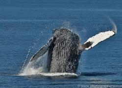 Whales 2014-5copyright-photographers-on-safari-com