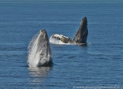 Whales 2014-7copyright-photographers-on-safari-com