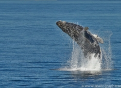 Whales 2014-9copyright-photographers-on-safari-com
