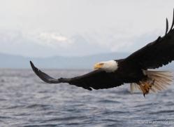 bald-eagle-alasaka-4621-copyright-photographers-on-safari
