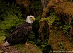 bald-eagle-alasaka-4629-copyright-photographers-on-safari