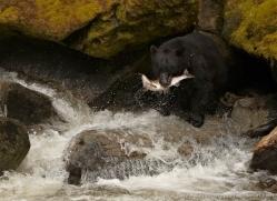 black-bear-anan-alasaka-4636-copyright-photographers-on-safari