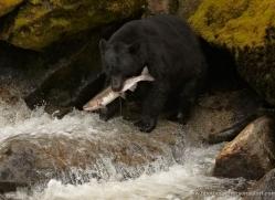 black-bear-anan-alasaka-4637-copyright-photographers-on-safari