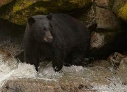 black-bear-anan-alasaka-4638-copyright-photographers-on-safari
