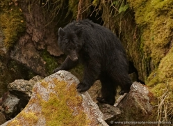 black-bear-anan-alasaka-4640-copyright-photographers-on-safari