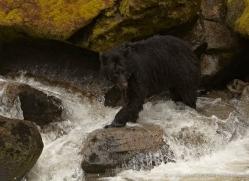 black-bear-anan-alasaka-4642-copyright-photographers-on-safari