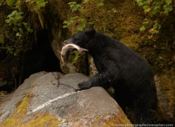 black-bear-anan-alasaka-4647-copyright-photographers-on-safari