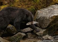 black-bear-anan-alasaka-4648-copyright-photographers-on-safari
