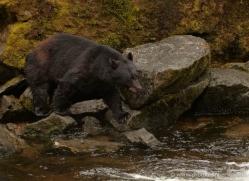 black-bear-anan-alasaka-4655-copyright-photographers-on-safari