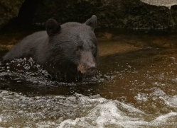 black-bear-anan-alasaka-4656-copyright-photographers-on-safari