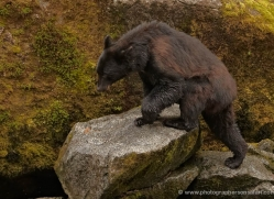 black-bear-anan-alasaka-4657-copyright-photographers-on-safari